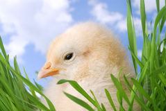 Cute Chicken Hiding in Grass Stock Photos