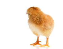 Cute chicken isolated on white Royalty Free Stock Images