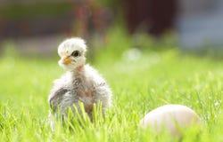 Cute chicken on thegreen grass Stock Photography