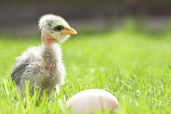 Cute chicken on thegreen grass Royalty Free Stock Photo