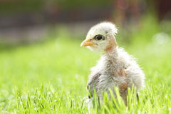 Cute chicken on thegreen grass Royalty Free Stock Photos