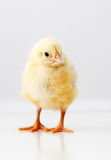 Cute chicken Stock Images