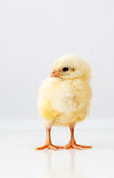 Cute chicken Royalty Free Stock Photography