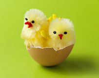 Cute chickens in easter egg shell Stock Image