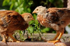 Cute Chickens Facing Each Other Royalty Free Stock Images
