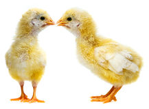 Cute chickens - love Stock Photography
