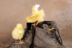 Cute chicks on old shoes Royalty Free Stock Photography