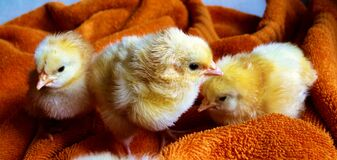 Cute chicks resting on blanket Stock Photography