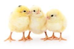 Cute chicks. Stock Photo