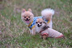 Couple small dog Royalty Free Stock Images