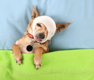 Cute chihuahua Royalty Free Stock Photography