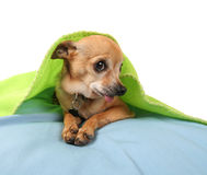 Cute chihuahua Stock Photography