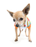 Cute chihuahua Stock Photo