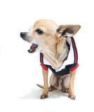 Cute chihuahua Royalty Free Stock Image