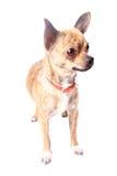 Cute chihuahua Stock Image