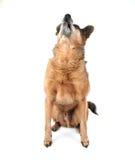 A cute chihuahua Stock Image