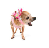 A cute chihuahua Stock Photo
