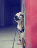 A cute chihuahua Royalty Free Stock Images