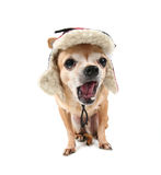A cute chihuahua Royalty Free Stock Image
