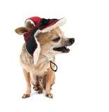 A cute chihuahua Stock Photos