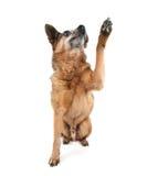 A cute chihuahua Royalty Free Stock Photos