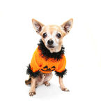A cute chihuahua Stock Images