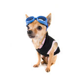 A cute chihuahua Royalty Free Stock Photography