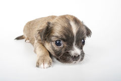 Cute Chihuahua baby  close-up Stock Images