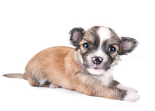 Cute chihuahua baby Royalty Free Stock Images