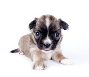 Cute Chihuahua baby on white background Stock Photos