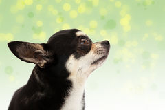 Cute Chihuahua on background Royalty Free Stock Photo
