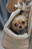 Cute chihuahua Royalty Free Stock Images