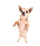 A cute chihuahua begging Stock Photos