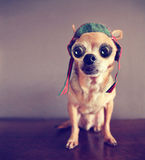 A cute chihuahua with big eyes Royalty Free Stock Photo