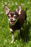 A cute chihuahua with a big smile Stock Photo