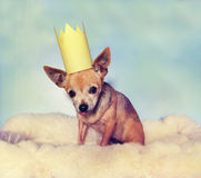 A cute  chihuahua on a blanket with a crown on Stock Image