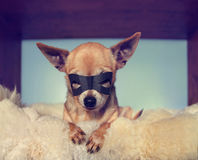 A cute  chihuahua on a blanket with a mask on Stock Photo