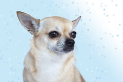 Cute Chihuahua on blue stock photo