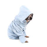 A cute chihuahua in a blue jacket Stock Photo