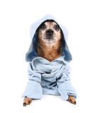 A cute chihuahua in a blue jacket Stock Photography