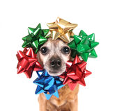 A cute chihuahua with bows around his head Royalty Free Stock Photos
