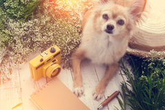 Cute chihuahua brown dog sitting relax with flower notebook came. Ra and beach hat on white vintage wooden floor travel and vacation concept Royalty Free Stock Images