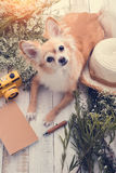 Cute chihuahua brown dog sitting relax with flower notebook came. Ra and beach hat on white vintage wooden floor travel and vacation concept Royalty Free Stock Photo