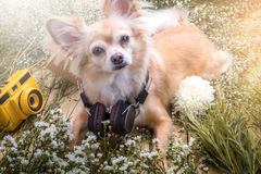 Cute chihuahua brown dog sitting relax with flower notebook came. Ra and beach hat on white vintage wooden floor travel and vacation concept Royalty Free Stock Image