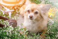 Cute chihuahua brown dog sitting relax with flower notebook came. Ra and beach hat on white vintage wooden floor travel and vacation concept Royalty Free Stock Photos