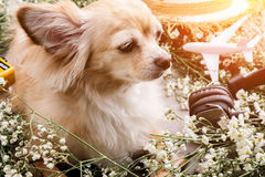 Cute chihuahua brown dog sitting relax with flower notebook came. Ra and beach hat on white vintage wooden floor travel and vacation concept Stock Photo