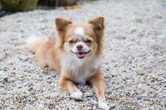 Cute Chihuahua Royalty Free Stock Photo
