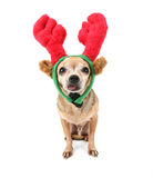 A cute chihuahua in a christmas hat Royalty Free Stock Photos