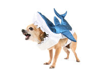 A cute chihuahua in a costume Stock Photo