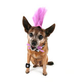 A cute chihuahua in a costume Stock Image